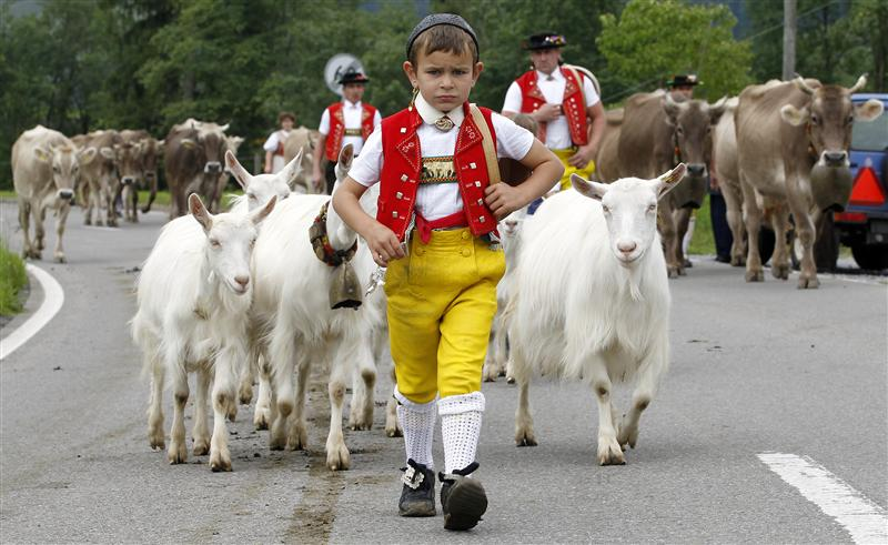 Farmers and their children drive their cows and goats during Alpabzug