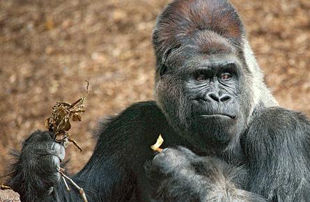 Gorillas on a diet