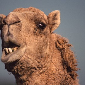 Save the earth, kill a camel