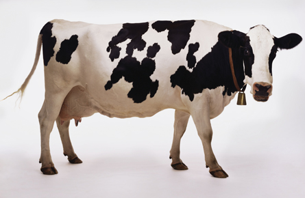 The $25,000 cow