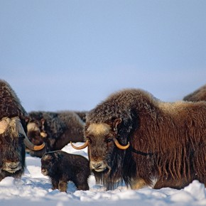 Muskox on the menu