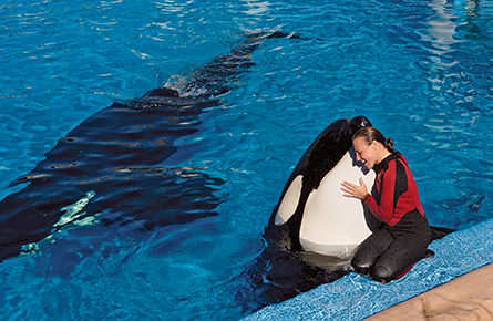 A killer whale gone very bad