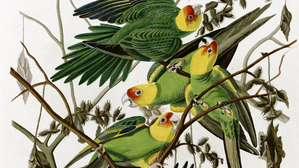 Carolina parakeets by John James Audubon (1833)