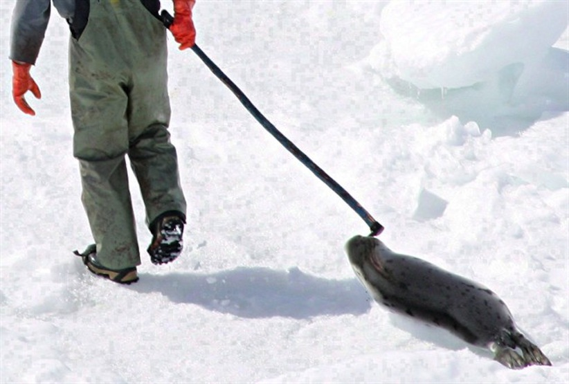 A seal hunter drags a harp seal back to his snowmobile during the annual seal hunt in 2005. (Jonathan Hayward/The Canadian Press)