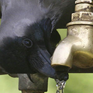 A crow drinks water from a tap on a hot day in Chandigarh