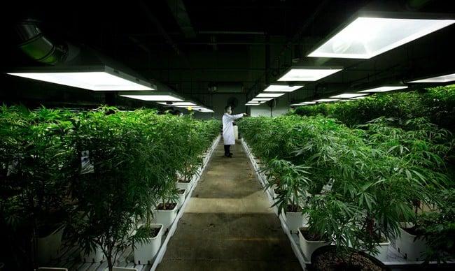 MediJean cannabis plant care technician Misad Shazi sprays water on marijuana plants growing at the medical marijuana facility in Richmond, B.C. (Darryl Dyck/The Canadian Press)