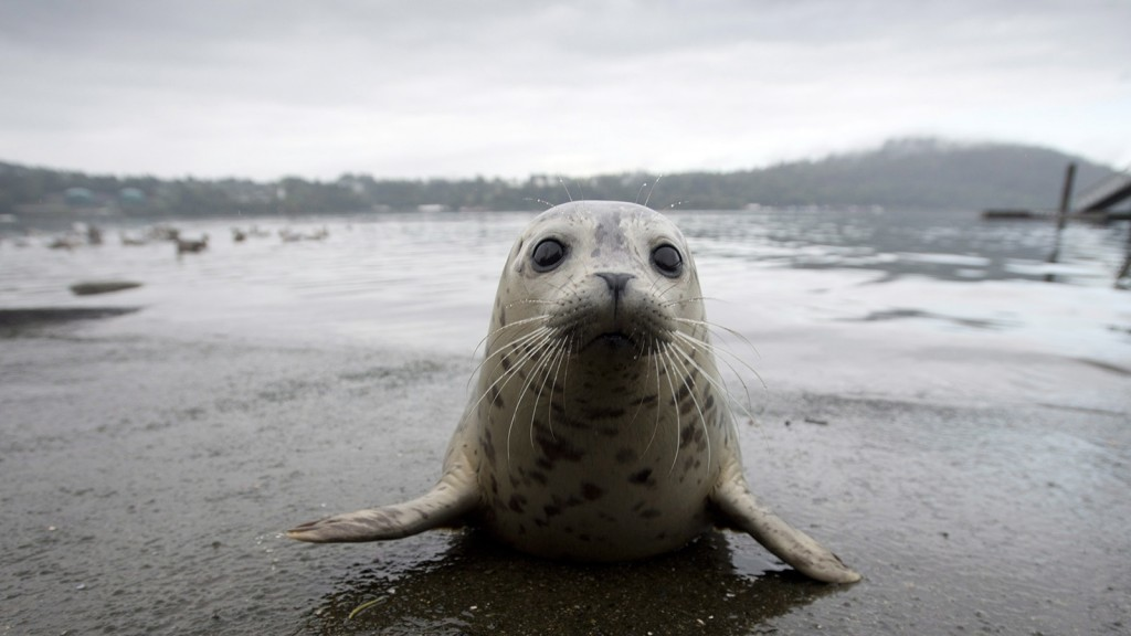 A seal pup sits on the boat launch before heading back into the water after being released by the Vancouver Aquarium into Burrard Inlet in North Vancouver, Wednesday, Sept. 24, 2014. Seven seals were release by the Aquariums Marine Mammal Rescue Centre which helps and assists injured, sick or orphaned marine mammals. (Jonathan Hayward/The Canadian Press)