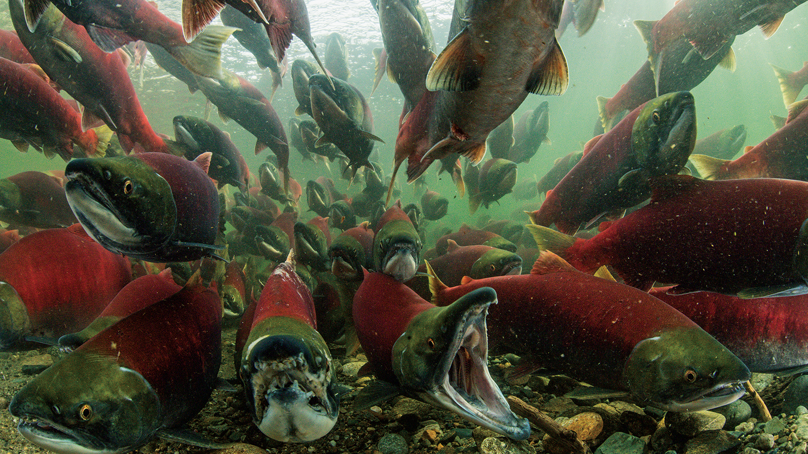 photo essay the sockeye salmon s incredible vital journey
