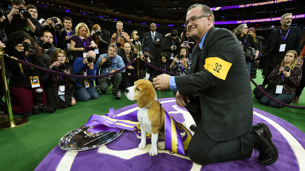 "Miss P, a 15-inch Beagle with handler William Alexander, looks on after winning the  ""best in show"" of the 139th Annual Westminster Kennel Club Dog Show at Madison Square Garden in New York. (Timothy A. Clary/AFP/Getty Images)"