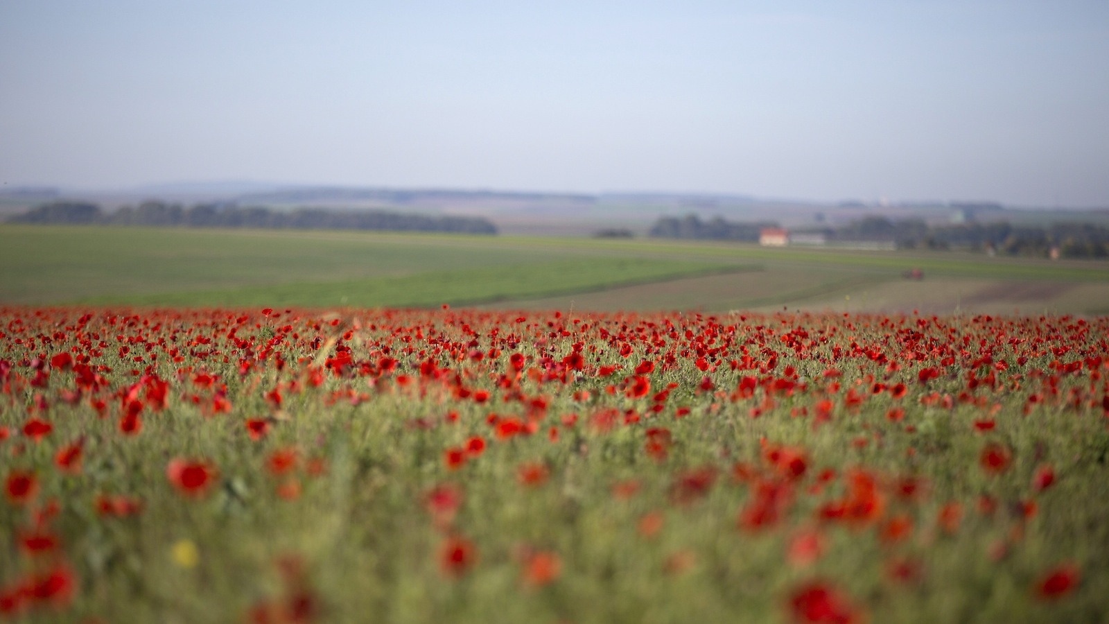 Poppies in full bloom in a field on a hilltop near Sommepy-Tahure, France on Wednesday, Oct. 14, 2014.  (AP Photo/Virginia Mayo)