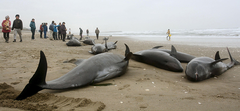 Sad sight: Residents try to save some of the 156 melon-headed dolphins that beached themselves on the coast of Hokota, Japan, northeast of Tokyo Kyodo/Reuters