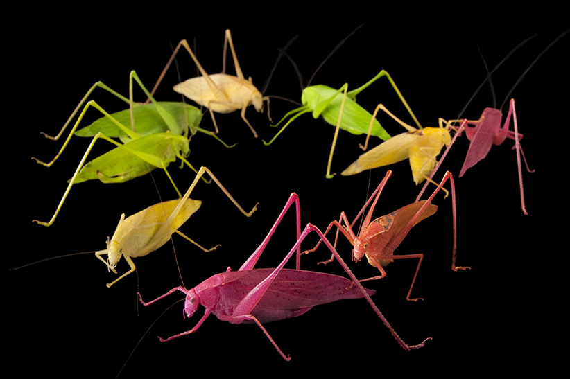 Oblong-winged katydids (Amblycorypha oblongifolia) at the Insectarium in New Orleans. These color variants are found in nature, though anything but green is usually eaten by predators immediately. The Insectarium has been a leader in breeding these color variants for display in the zoo community. (Joel Sartore/www.joelsartore.com)