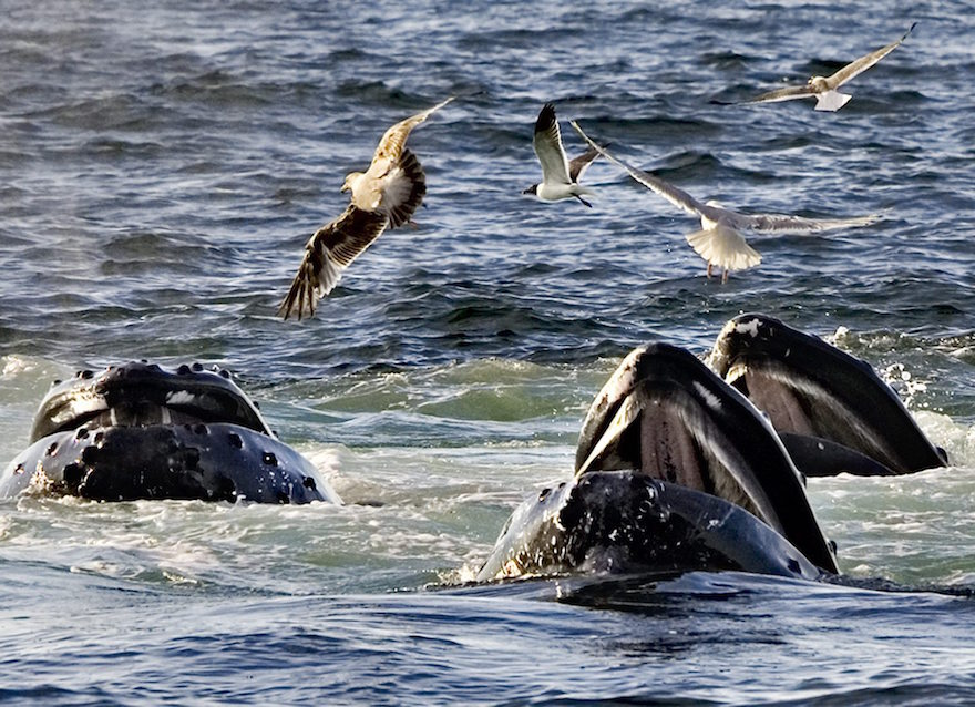 "In a July 11, 2008 file photo, a trio of humpback whales break the surface of the water as they work together in a group behavior known as ""bubble feeding"" off the coast of Cape Cod near Provincetown, Mass. Efforts to save endangered animals are making a measureable difference, even as a fifth of the world's backboned species _ mammals, birds, reptiles, amphibians and fishes _ are threatened with extinction, a huge new analysis says. (AP Photo/J. Scott Applewhite, File)"