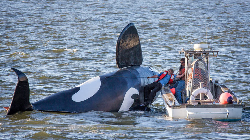 John Wifler, the pilot of the fake fiberglass orca, is pulled from the capsized vessel in the Columbia River outside of the East End Mooring Basin on Thursday, June 4, 2015,  in Astoria, Ore. An effort to use a fake orca to scare off hundreds of sea lions crowding docks off the Oregon coast has ended, at least temporarily, with the fiberglass creature belly-up after it was swamped by a passing ship. Joshua Bessex/AP