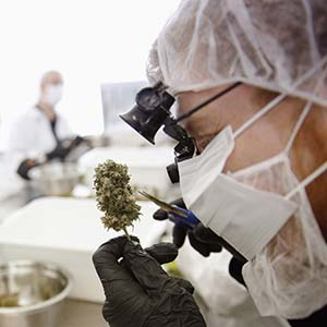 Director of Quality Assurance Thomas Shipley prunes dry marijuana buds before they are processed for shipping at Tweed Marijuana Inc  in Smith's Falls, Ontario, April 22, 2014. By unlocking the once-obscure medical marijuana market, Canada has created a fast-growing, profitable and federally regulated industry with a distinct appeal to the more daring global investor. About a dozen producers of the drug will find themselves in the spotlight this year as they consider going public or prepare to so through share sales or reverse takeovers to capitalize on recent regulatory changes, investment bankers said. Tweed Marijuana Inc, which converted an old chocolate factory into a marijuana farm, led the pack by becoming the first publicly held Canadian company in the sector. Picture taken April 22, 2014.    REUTERS/Blair Gable (CANADA - Tags: HEALTH DRUGS SOCIETY BUSINESS AGRICULTURE) - RTR3TJ5P