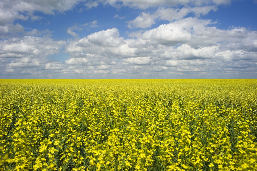 A canola crop in bloom. (Todd Korol/Reuters)