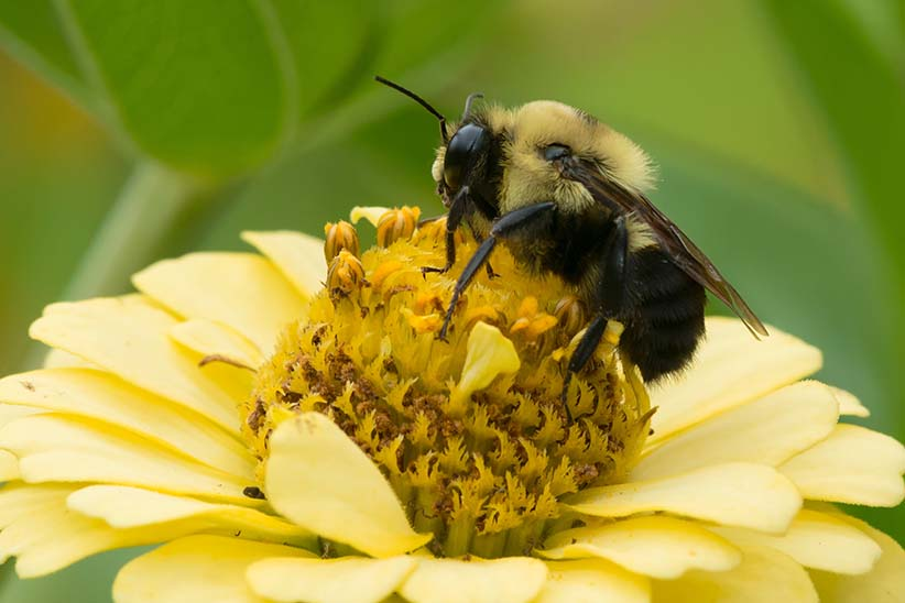 Common Eastern Bumblebee collecting nectar from a yellow flower. (Shutterstock)