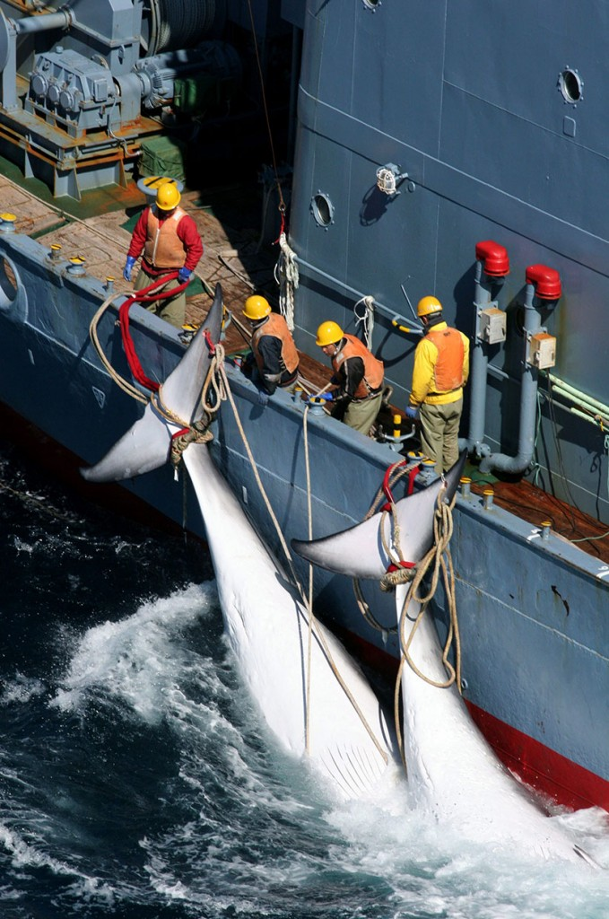 The Japanese whaling fleet, Southern Ocean, Antarctica. The killing of Minke whales in the Southern Ocean by the 'Yushin Maru' and the 'Kyo Maru No.1' ships of the Japanese whaling fleet, and the transfer of the whales to the Nisshin Maru factory ship. 21 Dec 2005 (Sutton-Hibbert/Rex Features/CP)