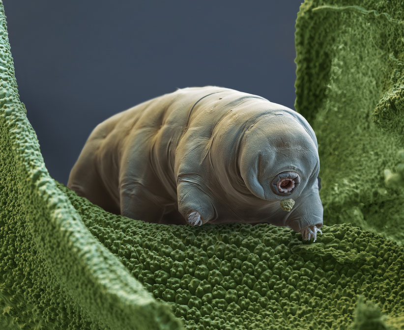 Water bear. Color enhanced scanning electron micrograph (SEM) of a water bear (Paramacrobiotus tonolli) feeding. Water bears (or tardigrades) are tiny invertebrates that live in aquatic and semi-aquatic habitats such as lichen and damp moss. Paramacrobiotus tonolli is a carnivorous species that feeds on nematodes and rotifers. Water bears are found throughout the world, including regions of extreme temperature, such as hot springs, and extreme pressure, such as deep underwater. They can also survive high levels of radiation and the vacuum of space. Magnification: x400 when printed at 10 centimeters wide. (Eye of Science/Science Source)