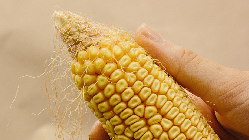 A scientist examines an ear of corn in one of Monsanto's GMO testing labs. (Daniel Shea)