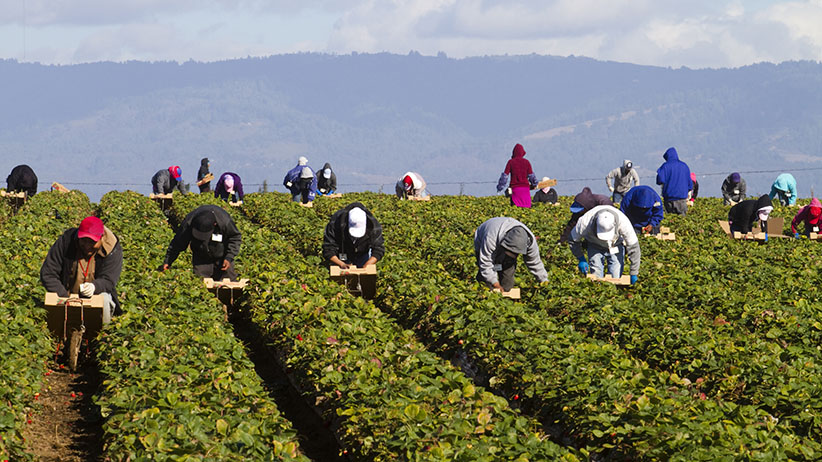 Migrant Farm Workers In Strawberry Fields Mark Miller
