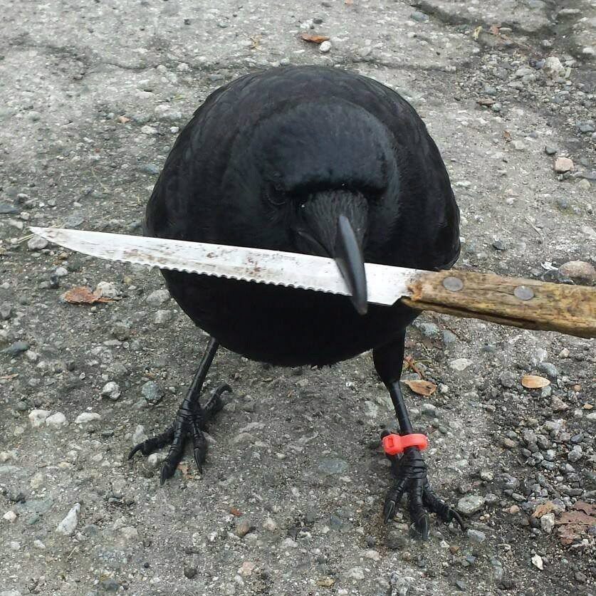 A well-known Vancouver bird is again in the news, as it moved a survival knife involved at a crime scene in Vancouver on May 25, 2016. Canuck the Crow, seen in this undated handout photo from the bird's Facebook page, is holding a kitchen knife. THE CANADIAN PRESS/HO-Facebook, The Crow and I - MANDATORY CREDIT