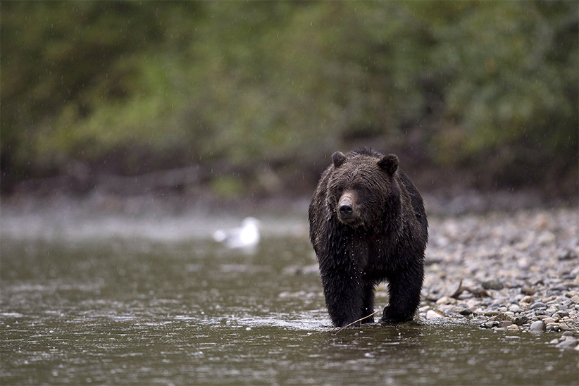 A grizzly bear is seen fishing for salmon along the Atnarko river in Tweedsmuir Provincial Park near Bella Coola, B.C. (Jonathan Hayward/CP)