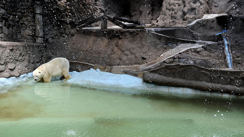 Arturo, the only polar bear in Argentina, living in captivity at a zoo in Mendoza, 1050 km west of Buenos Aires, is pictured at his enclosure on February 5, 2014. Specialists and activists lobbied to transfer old Arturo to a zoo in Canada to spare him from the Argentine heat. (Andres Larrovere/AFP/Getty Images)