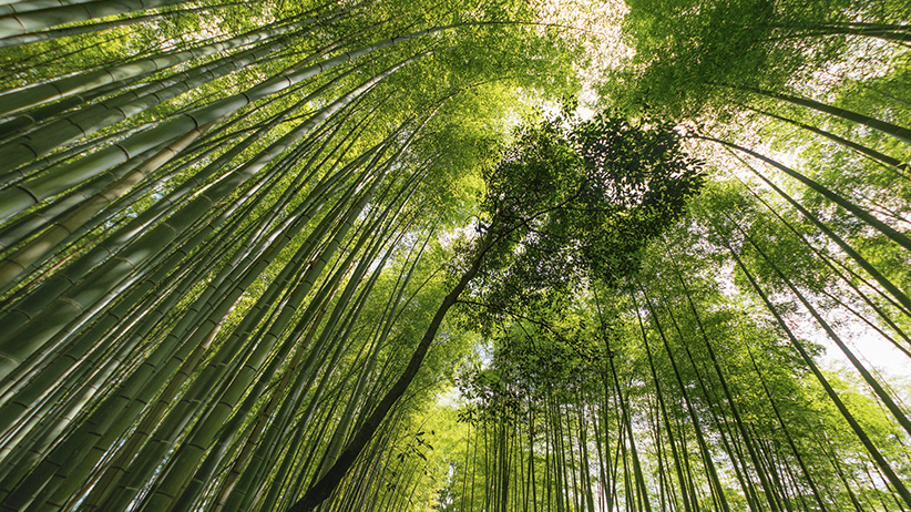 Beautiful green bamboo forest in Japan