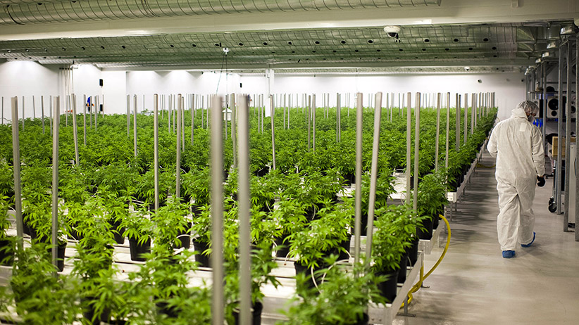 Medical marijuana plants grow in a climate controlled growing room at the Tweed Inc. facility in Smith Falls, Ontario, Canada, on Nov. 11, 2015. Construction and marijuana companies are poised to benefit from the Liberal Party's decisive win in Canada's election, with leader Justin Trudeau vowing to fund infrastructure spending with deficits and legalize cannabis. (James MacDonald/Bloomberg/Getty Images)
