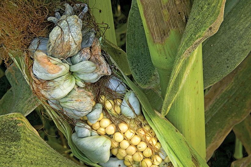 Corn smut. (Inga Spence/Getty Images)