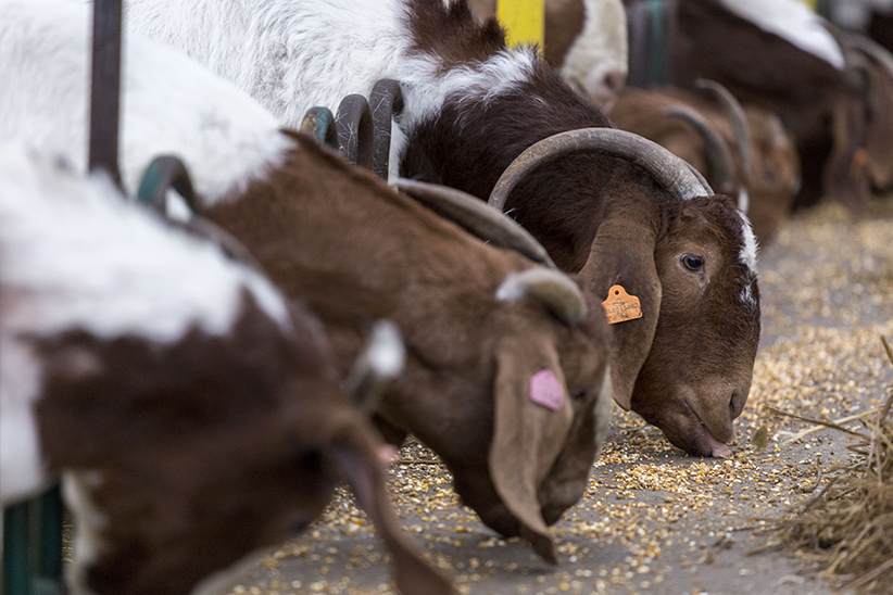 Goats feeding at Teal's Meats in Waterford, Ontario on January 23, 2017. (Photograph by Nick Iwanyshyn)