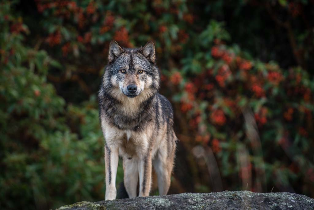 <p>Staqeya, a wolf, swims between the islands within sight of Victoria, feeding mostly on seals and occasionally keeping vigil on the rocks, to the delight of people on passing boats. Residents of the B.C. capital say they sometimes hear him howling in the night.</p>