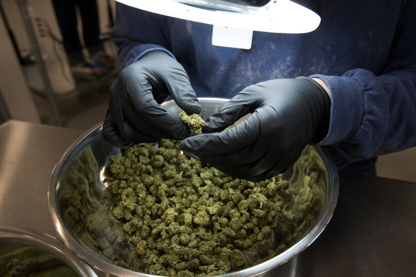 An employee inspect medicinal marijuana by hand at Tweed INC. in Smith Falls, Ontario December 5, 2016. (Lars Hagberg/AFP/Getty Images)