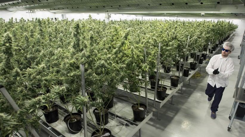 Tweed employee Ryan Harris works inside the Flowering Room with medicinal marijuana at Tweed INC. in Smith Falls, Ontario, on December 5, 2016. (Lars Hagberg/AFP/Getty Images)
