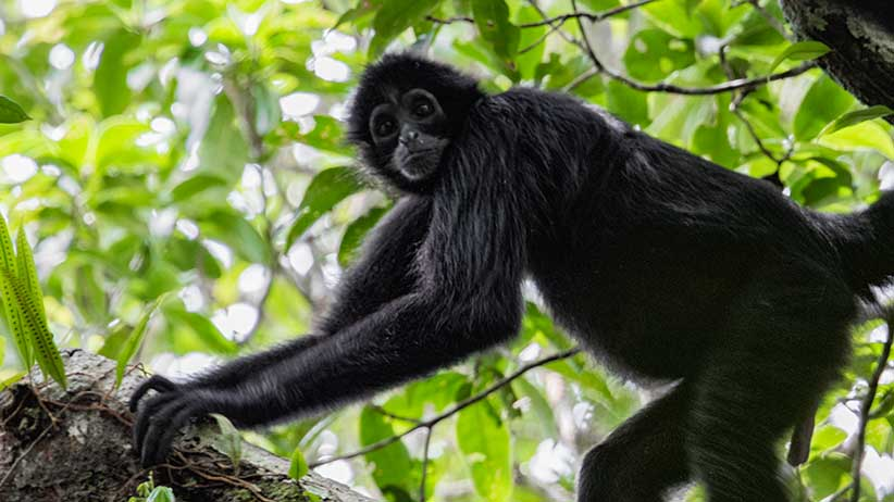 The critically endangered black-headed spider monkey (Ateles fusciceps). (Miguel Siu)