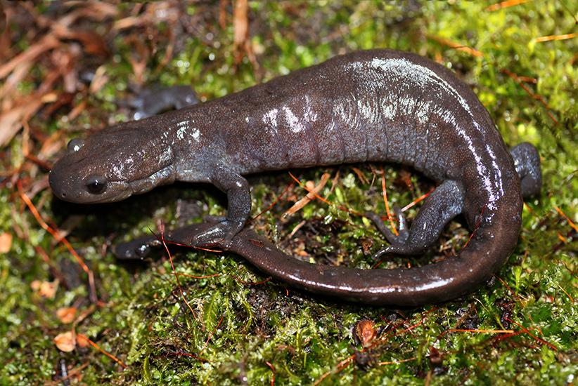 Jefferson salamander (Scott Gillingwater/Flickr/(CC BY-NC-ND 2.0))