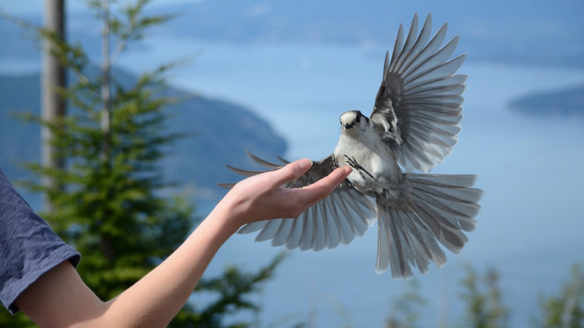 16 year old birding enthusiast Ian Harland had this A Gray Jay which fly into the hand of his brother on a local trail in Vancouver, British Columbia, Canada. (Ian Harland)