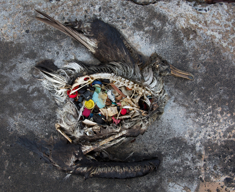 The stomach of a dead Black Footed albatross chick filled with plastic consumed accidentally at the Midway Atoll Wildlife Refugee in Midway Island. (USFWS/Alamy Stock Photo)