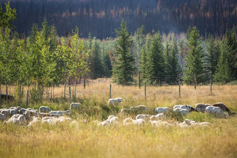 Dogs Tad and Sophie look over their herd of sheep in 100 Mile House, BC. (Photograph by Kathleen Fisher)