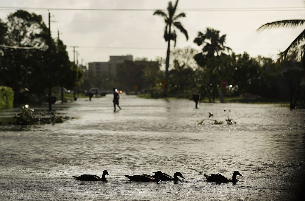 Ducks swim through a street the morning after Hurricane Irma swept through the area on September 11, 2017 in Naples, Florida. Hurricane Irma made another landfall near Naples yesterday after inundating the Florida Keys. Electricity was out in much of the region with localized flooding. (Spencer Platt/Getty Images)