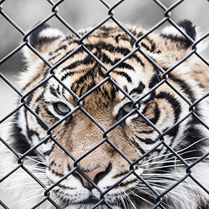 tiger behind a chain link fence