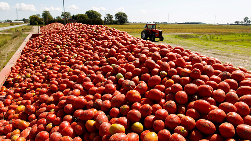 Tomatoes sit inside a trailer after being harvested from a farm in Leamington, Ontario, Canada on September 15, 2017. (Photograph by Dennis Pajot)