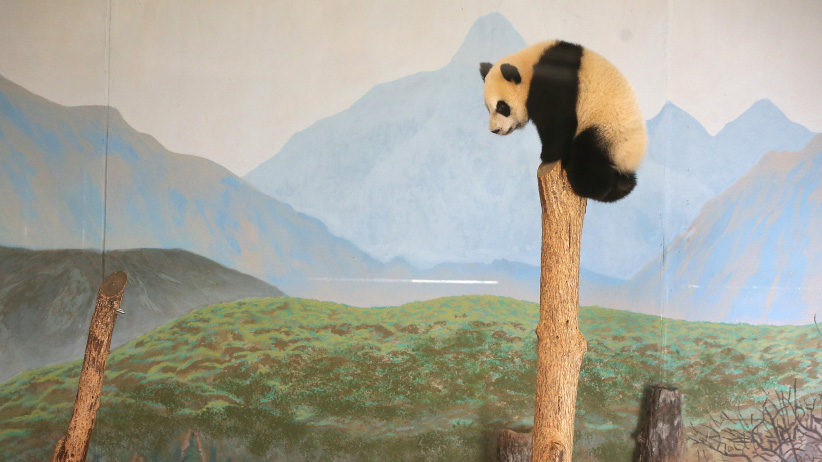 Female panda twin Jia Yueyue whose name means Canadian joy climbs to the highest point in the enclosure. The Panda twins gear up for their first birthday on October 13th. The Toronto Zoo has celebrations for Giant Pandas all week that include photo booths, colouring stations and viewings of the twins. in Toronto. October 8, 2016. (Steve Russell/Toronto Star/Getty Images)