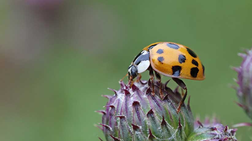 Harlequin ladybird harmonia axyridis on thistle head