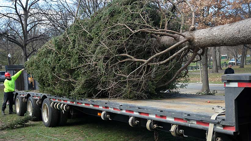 Boston's official Christmas Tree from Nova Scotia in 2008, an annual thank-you for sending help in the 1917 Halifax Explosion. (Photo by David L. Ryan/The Boston Globe via Getty Images)