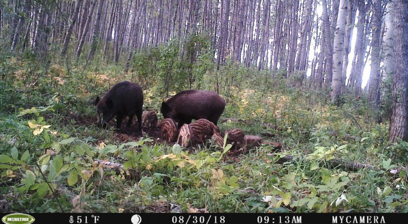 Canada is losing a war against feral pigs that are infesting