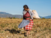 Felipa Martinez is an Indigenous campesino farmer from the central valleys of Oaxaca. She's gathering dry corn stalks to take home to use as firewood and to feed her animals. Seven of her children have immigrated. (Jean-Claude Teyssier)