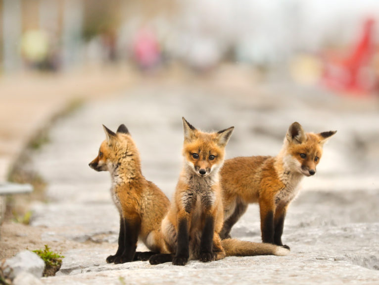 A few of the young kits at Woodbine Beach in Toronto; when passersby began taking selfies with the animals, a local wildlife centre intervened (Richard Lautens/Toronto Star/Getty Images)