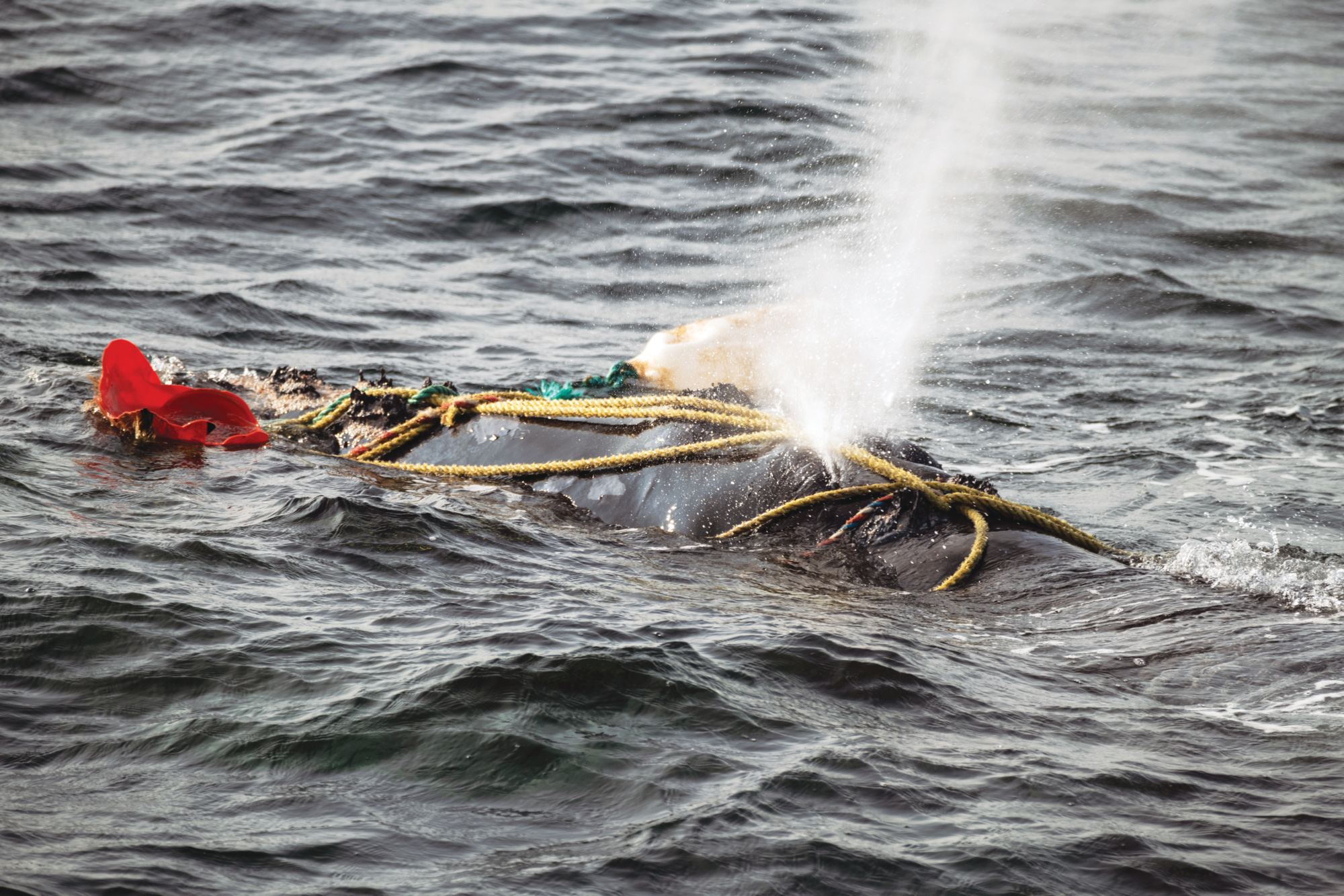 Fishing ropes wrap over the blowhole of a severely entangled North Atlantic right whale in the Gulf of Saint Lawrence, Canada. (Nick Hawkins)